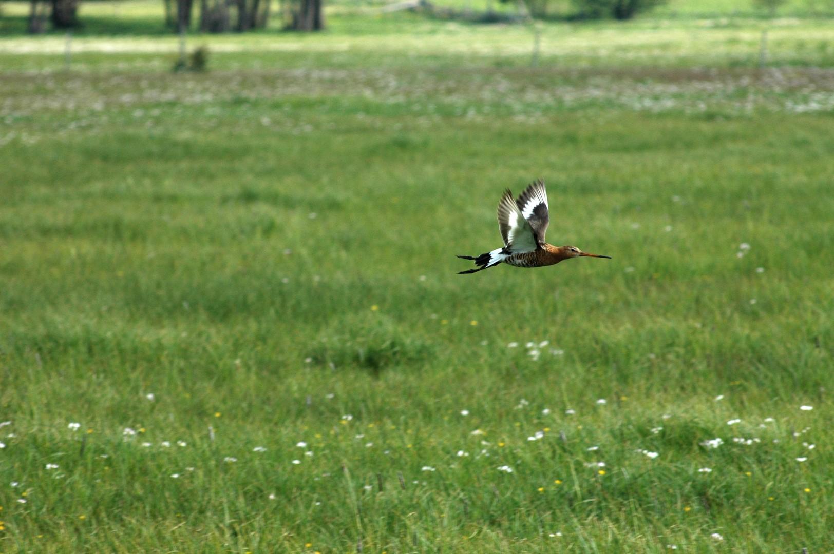 Vol d'une Barge à queue noire au-dessus d'une prairie