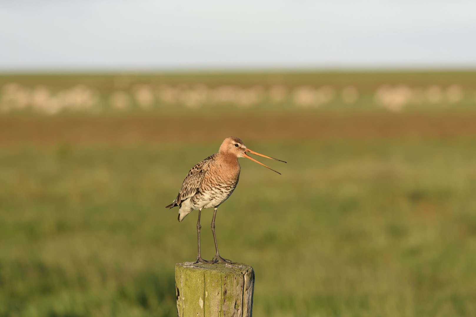 Gotwit sits on pole with its beak open, meadow sheep blurry background