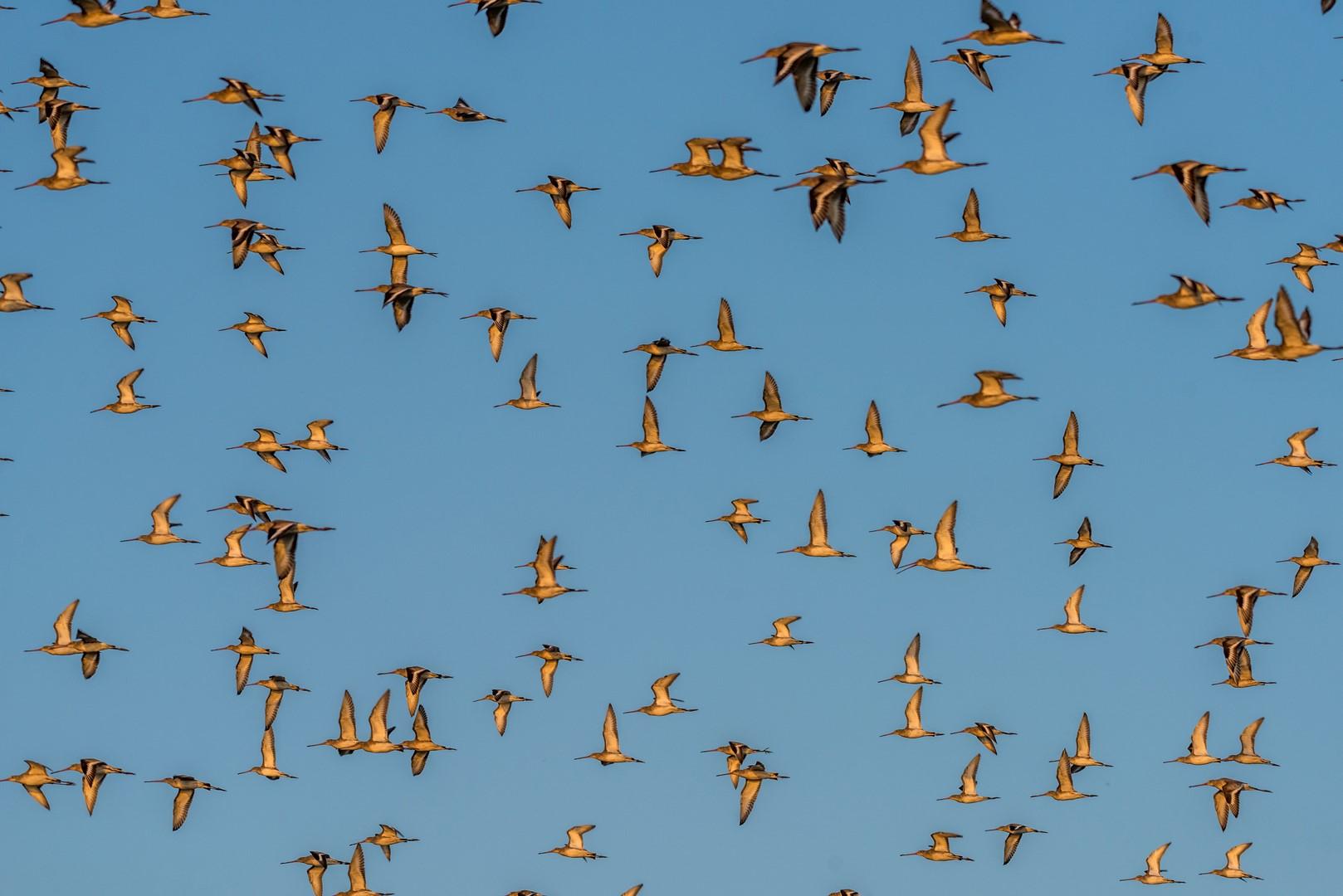 Vol de Barges à queue noire en migration